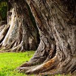 Древесные шипровые